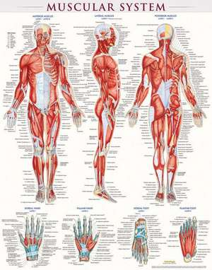 Muscular System-Laminated