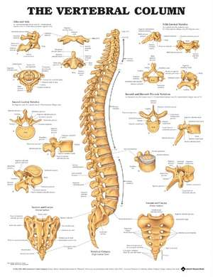 The Vertebral Column Anatomical Chart
