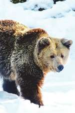 Brown Bear in the Snow Journal