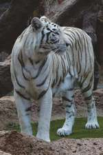 The White Bengal Tiger Journal