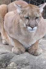 Portrait of a Cougar Journal