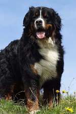 Bernese Mountain Dog Journal