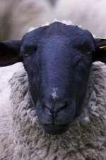 Adorable Scottish Black Face Sheep in Glen Ray Scotland Journal