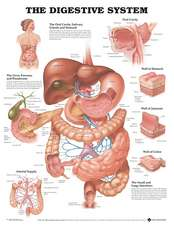 The Digestive System Anatomical Chart
