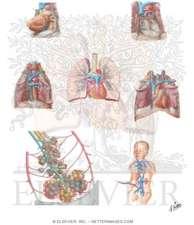 Cardiopulmonary Circulation Chart