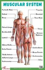 Muscular System Educational Chart